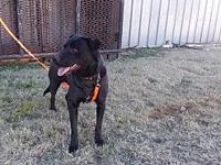 Ash's story Ash is a 1.5 year old, 55-pound black lab