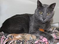 Asher's story Asher is a grey mixed breed DSH who is