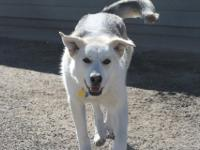 Ashley is a 1 1/2 year old Shepherd husky mix. She is a