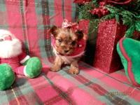 850.00 Ashli Yorkshire Terrier Female Ashli is very
