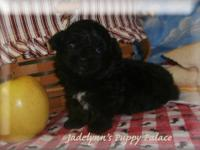Dakota, 9lb Black/White Phantom Toy Poodle & Picasso