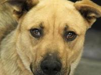 Ashton is a beautiful 50 lb, 2 year old shepherd mix.