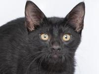 Ashy's story Hi there! I am a cute solid black 2 month