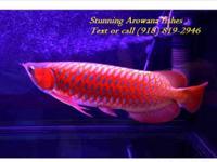 Asian Arowana 90% Goldhead XB; Dream fish Prestige Gold