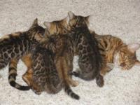 Asian Leopard pure bred Bengal kittens new litters