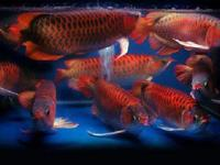 Animal Type: Fishes Breed: Arowanas We have available
