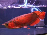 We supply live Arowana fishes of all kinds,we have