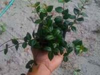 "I have 4"" asiatic jasmine ground cover for sale."