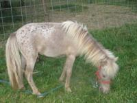 ASPC/AMHR Registered Miniature Stallion. B size