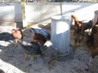 Have assorted breeds of chickens for sale - Rhode