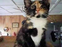 Astra's story Astra is a female calico kitten, born on