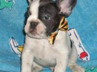 NO BRINDLE! BLUE/TAN male Butterballfrenchies.com Sire