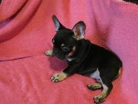 at/at AKC Black and Tan French Female born 8-22-15.