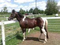 """MUNECOS PEP HOLLY"" Reg. APHA Bay Tobiano 14.1 or 2"