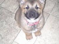 "Female 8 Week old Chow/Akita mix ""Athena"" *She needs"