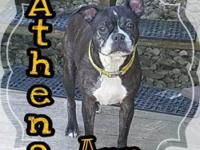 Athena Ann Bio  Female 7 years old Boston Terrier