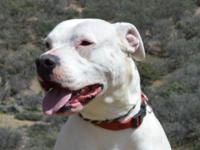 Athena is a three year old purebred Dogo Argentino. She