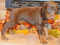 Atilla is a red/rust male by Jr. World Winner Semper