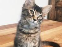 Atticus's story Atticus: medium haired tabby Hi! My