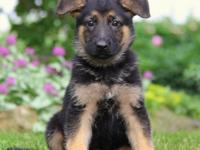 attractive German Shepherd Puppies Male And