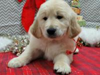 Golden Retriever puppies for adoption. Fine puppies,