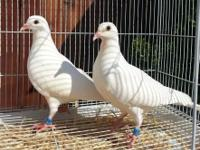 I have AU 2015 banded pure white racing/homing pigeons