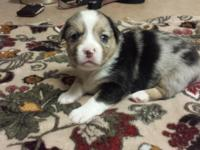 Auggies Puppies for sale 1 Blue Merle Female, 2 Blue