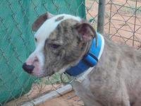 Auggie's story This is Auggie, a blue brindle male