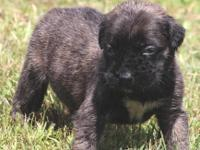We have an AKC brindle female English Mastiff puppy,