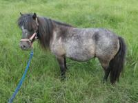 Aurora is blue roan miniature mare.  She was born about