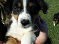 I have two black tri aussie males left from a litter of