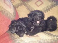 We have 2 Aussie doodle puppies that are ready for