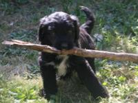 I wish to present my Aussie-doodle staff. I have 3