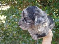AUSSIE POODLE CROSS GREAT VERY SMART PUPS,,THEY ARE