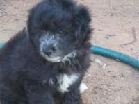 We have 3 Aussie doodle puppies ready for new homes.