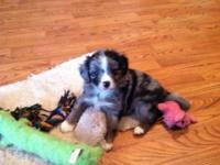 3 male mini Aussie doodles, 7 weeks old 4/24; seen by