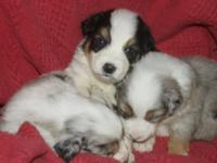 Full-blooded Aussie pups w/ parents on website. Prices
