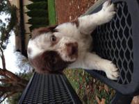 Last little boy! Britney spaniel and Aussie puppy very