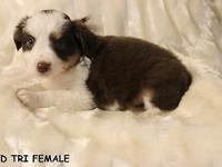 LITTER NO. 1:TOY/MINI AUSSIES BORN 02-24-15, to 13""