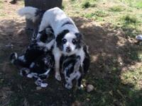 We have mixed puppies for sale, with 2 puppy shots up