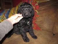 Standard Black Male AussieDoodle will be 50-60#