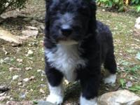 Lucy is an f1b aussiedoodle, she is a beautiful blue