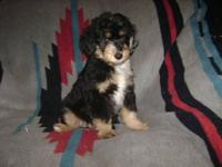 Adorable Moyen sized F1 aussiedoodle puppies available!