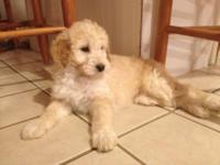 For Sale, First generation Aussiedoodle puppies.