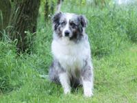 This adorable blue merle aussiedoodle is looking for