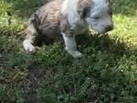 Gorgeous Lilac Merle female puppy, Mom is a gorgeous