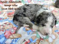 F1b Aussiedoodles. Mom is a 45 pound blue merle F1