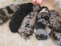 F1 Petite Aussiedoodles born on May 15 and ready to go