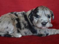GORGEOUS BLUE MERLE FEMALE AUSSIEDOODLE.SIRE IS