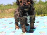 BANJO is an adorable RED SABLE & white F1 Aussiedoodle